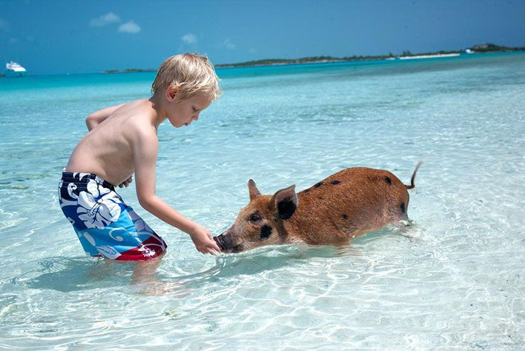 Swimming Pigs On Pig Island At Exuma Beach