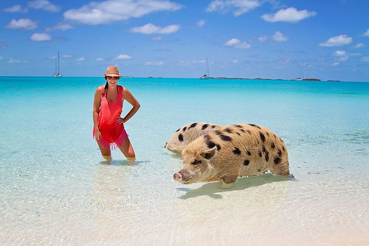 swimming pigs on pig island at Exuma pig beach