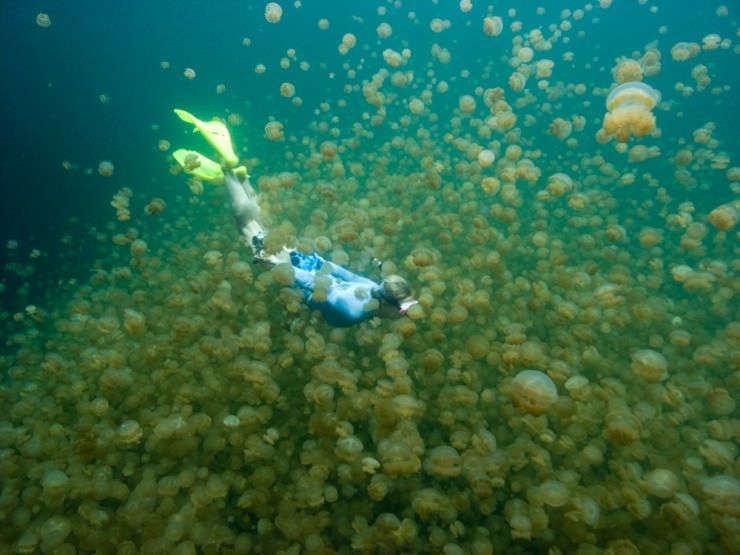 Swimming with Jellyfish - Jellyfish lake Palau