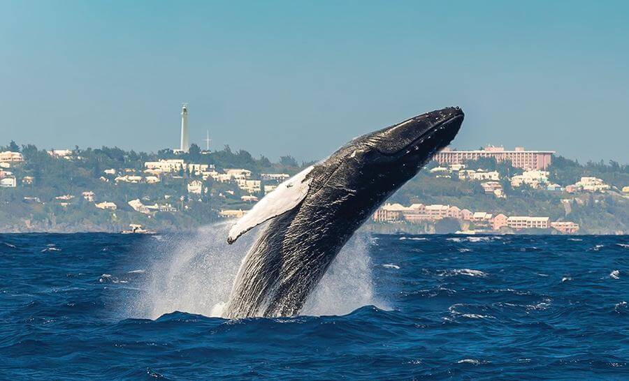 best things to do in Hamilton Bermuda - whale watching